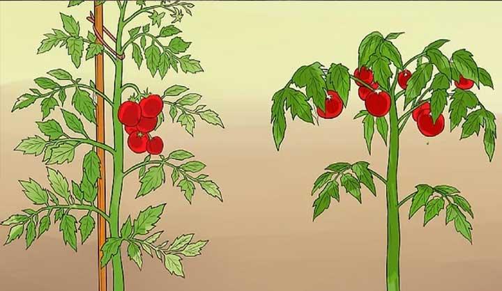11 astuces pour que vos tomates poussent parfaitement