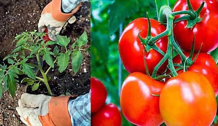 13 Astuces Pour Faire Pousser Plus de Tomates, Plus Grosses et Plus Savoureuses.