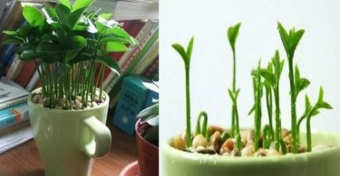Apprenez à planter du citron dans une tasse et votre maison sentira toujours bon