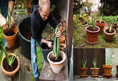 Comment cultiver de l'aloe vera à la maison et quels sont ses bienfaits