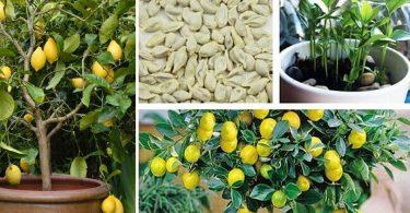 Comment faire germer des graines de citron pour obtenir un arbre magnifique dans votre jardin