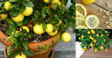 Voici comment cultiver un nombre illimité de citrons dans votre propre cuisine : 1 graine est tout ce dont vous avez besoin