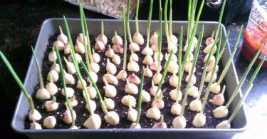 Cessez d'acheter de l'ail. Cultivez-le sans fin avec ces simples astuces jardinières!