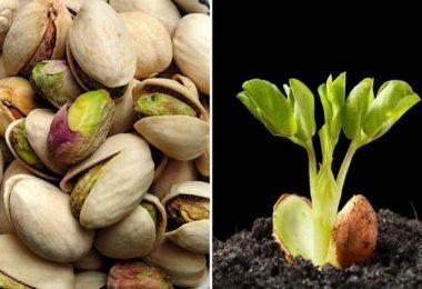 Apprenez à faire germer et cultiver des pistaches en pot en toute simplicité